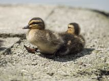 Little mallard chick walks towards the pond. To find his mother again Stock Photos