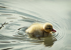 Little mallard duckling. Learning to swim Royalty Free Stock Photo