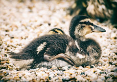 Little mallard duckling resting on the rhinestones. Animal scene Royalty Free Stock Photography