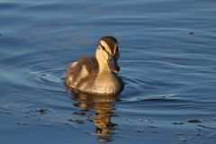 Little Mallard Duckling Swimming. A little fluffy mallard duckling swimming on a blue pond in Spring Stock Images