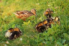 Little mallard ducklings Anas platyrhynchos preparing for slee. P on grass, mother duck back in sunset light Royalty Free Stock Image