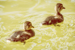 Little mallard ducklings in the water, yellow photo filter. Two little mallard ducklings – anas platyrhynchos. Reflections in water. Young ones. Yellow photo Royalty Free Stock Image
