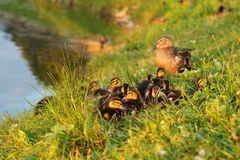 Little mallards Anas platyrhynchos getting ready to sleep, wit. H mother duck in background, sunset light Royalty Free Stock Photos