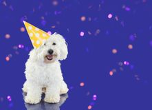 LITTLE MALTESE BICHON DOG WEARING A POLKA YELLOW DOT ON PUPLE CO. LORED BACKGROUND WITH CONFETTI. COPY SPACE Stock Images