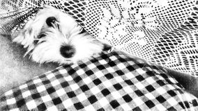 Little maltese dog. A black and white photo showing a maltese dog who hid under the pillow Stock Photo