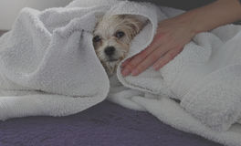 Little Maltese dog is dried in towel. Design Royalty Free Stock Images