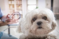 Little maltese dog at the vet office. Vet with stethoscope in the background Royalty Free Stock Photography
