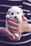 Little maltese puppy striped shirt Stock Photos