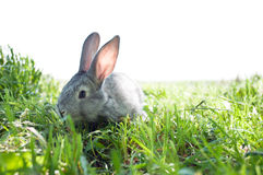 Little mammal rabbit Royalty Free Stock Photos