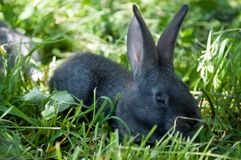 Little mammal rabbit Royalty Free Stock Photo
