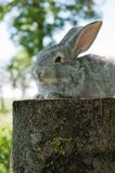 Little mammal rabbit Royalty Free Stock Image