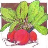 The little man hidden between the green leaves. The small man hidden between the leaves of radishes Stock Photo