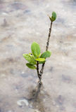 Little mangrove Stock Photography