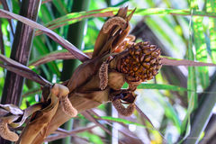 Little mangrove palm fruits on bunch Stock Photography