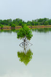 Little mangrove tree Royalty Free Stock Photos