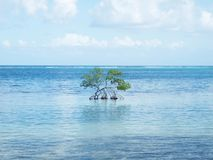 Little Mangrove Tree in the middle of the sea stock photos