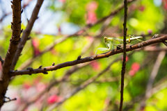 Little mantis on the branch Stock Image