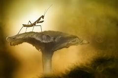 Little Mantis on A Mushroom stock photos