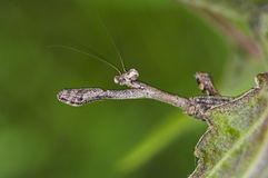 Little mantis Royalty Free Stock Photography