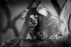Little marmoset monkey in black and white Royalty Free Stock Images