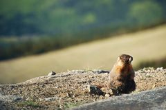 Little Marmot Royalty Free Stock Photo