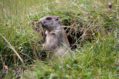 Little marmot Stock Photography