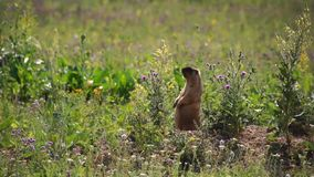Little marmot whistles stock video footage