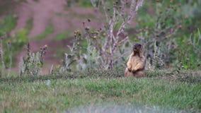 Little marmot whistles stock footage