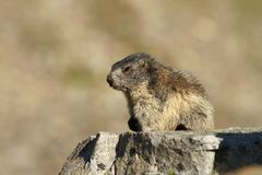 Little marmot Royalty Free Stock Photography