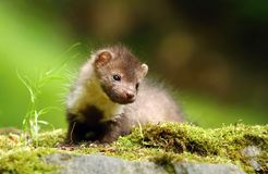 Little marten Royalty Free Stock Images