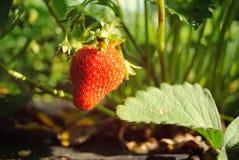 Mature strawberry in Grandma`s garden stock photo