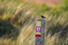 Little meadow pipit sitting on a wooden pile with icons on a colorful blurry background - Texel Netherlands. Holland stock photography