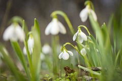 Little meadow of primroseone snowdrop in from group in close up view Stock Photo