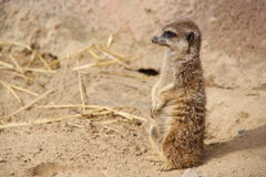 Little meerkat. In the sand Royalty Free Stock Image