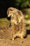 Little meerkat looking down Stock Photos