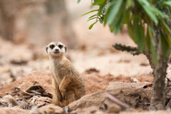 Little Meerkat Royalty Free Stock Photo