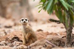 Little Meerkat Royalty Free Stock Photo