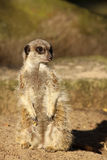 Little meerkat looking to the right Stock Photos