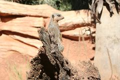 A small meerkat observing its surroundings stock images