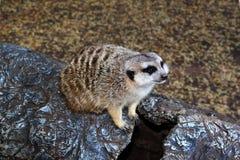 Little Meerkat Sitting on Imitation Stump Royalty Free Stock Photos