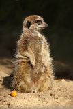 Little meerkat standing upright Stock Photos