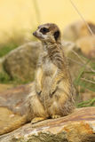 Little meerkat standing upright Royalty Free Stock Photography