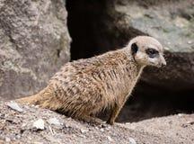 Little Meerkat (Suricata suricatta) Stock Image