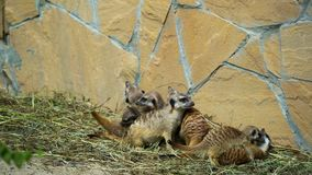 Little meerkats playing at the zoo stock video