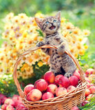 Little meowing kitten in a basket with apples Stock Images