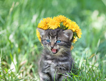 Little meowing kitten crowned with a chaplet of dandelion Stock Photography