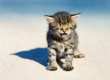 Little meowing kitten Stock Photos
