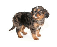 Merle Puppy Royalty Free Stock Photos
