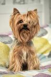 Little mini York Terrier Stock Photo