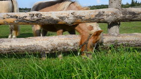 Little miniature horse reaches for a grass through stock video